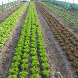 Organic vegetables growing poly tunnel Kilkenny